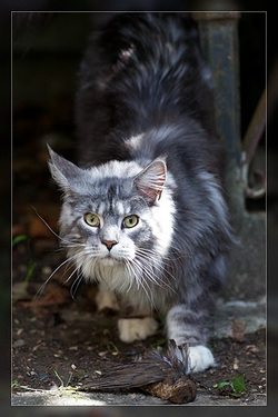 chat maine coon chaton